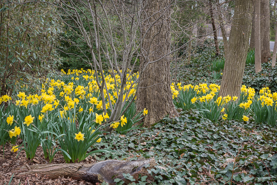 In April, the woodland area is bright with Daffodils.