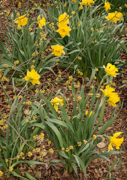 Daffodils and Spice Bush flowers bring spring brightness to a woodland area